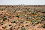 Цветут тюльпаны на Байконуре